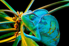 One Yemen chameleon Stock Photo