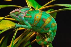 One Yemen chameleon Stock Photography