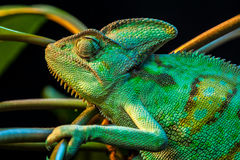 One Yemen chameleon Royalty Free Stock Image