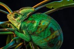 One Yemen chameleon Stock Image