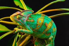 One Yemen chameleon. Yemen chameleon isolated on black background on green leaves Stock Photography