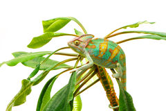 One Yemen chameleon Stock Photos