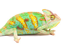 One Yemen chameleon Stock Images