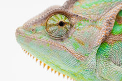 One Yemen muzzle chameleon Stock Photography