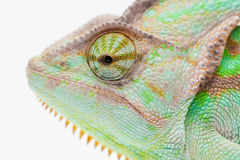 One Yemen muzzle chameleon Stock Photos