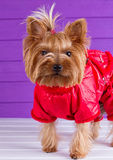 One Yorkshire Terrier in red overalls Stock Photo