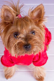One Yorkshire Terrier in red overalls Royalty Free Stock Image