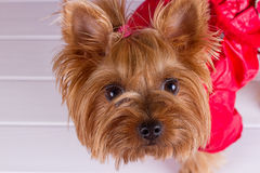 One Yorkshire Terrier in red overalls Stock Images