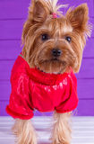 One Yorkshire Terrier in red overalls Royalty Free Stock Photo