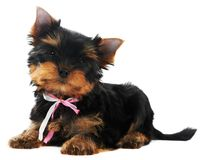 One Yorkshire Terrier (of three Stock Photography