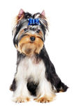 One Yorkshire Terrier (of three month) puppy dog Royalty Free Stock Photos