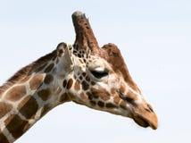 Giraffes head stock photography