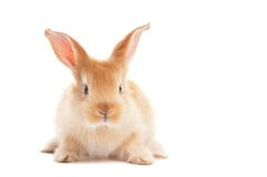 One young baby rabbit isolated Stock Photos