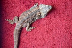 One young bearded dragon Royalty Free Stock Photos