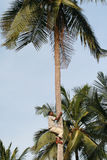 One young black African man climbs up  trunk of palm. Royalty Free Stock Images