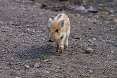 One young boar pig Stock Photography