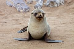 One Young Brown fur seal, Arctocephalus pusillus, on the coast of Cape Cross, Namibia Stock Photography