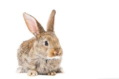 One young brown rabbit Royalty Free Stock Photos