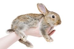 One young brown rabbit Royalty Free Stock Photography