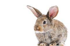 One young bunny rabbit Stock Images
