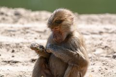 Adult olive baboon monkey sitting and eating bamboo leaves. One Young child olive baboon monkey sitting and eating bamboo leaves stock photography