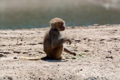 Young child olive baboon monkey sitting and eating bamboo leaves. One Young child olive baboon monkey sitting and eating bamboo leaves royalty free stock photo