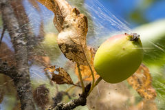 One young crab apple wrapped in caterpillar silk tent Royalty Free Stock Image