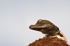 One young croc hatching from egg. With head up against a blue sky Royalty Free Stock Photos