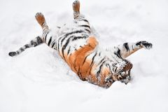 Siberian tiger playing in white winter snow Stock Photos