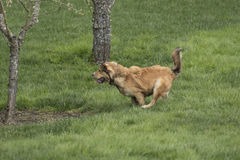 One Young Golden Dog Sprinting. A golden shepherd husky mix pup runs through a lush green lawn. The dog has a snub nose, floppy ears, and a bushy tail. This royalty free stock image