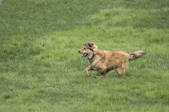 One Young Golden Dog Sprinting. A golden shepherd husky mix pup runs through a lush green lawn. The dog has a snub nose, floppy ears, and a bushy tail royalty free stock photography