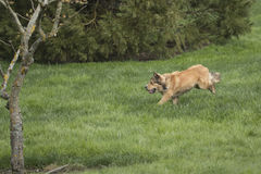 One Young Golden Dog Sprinting. A golden shepherd husky mix pup runs through a lush green lawn. The dog has a snub nose, floppy ears, and a bushy tail. This Stock Images