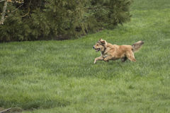 One Young Golden Dog Sprinting. A golden shepherd husky mix pup runs through a lush green lawn. The dog has a snub nose, floppy ears, and a bushy tail. This is stock photography
