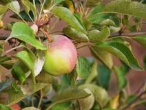 One Young Green Apple on Tree Royalty Free Stock Photography