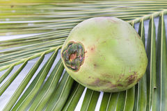 One young and juicy organic green coconut on palm leaf Royalty Free Stock Images