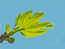 One young leaf of a fig Stock Photos