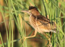 One young little bittern with open crest walking on the reed in soft evening light. One young little bittern with open crest walking on the reed in red  evening Royalty Free Stock Photos