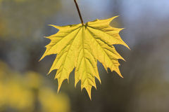 One young maple leaf outside, at springtime Stock Image