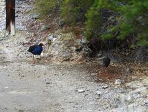 One young and one adult Pukeko royalty free stock photography