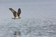 Osprey Hunting Flight. One young Ospery in flight over water wings up after an attempt at a fishing dive Stock Image