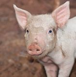 One young pig on farm portrait Royalty Free Stock Images