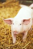 Young piglet on hay and straw at pig breeding farm Royalty Free Stock Image