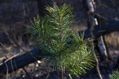 One young pine tree. Fir branches. Spruce background. Coniferous forest. The family of gymnosperms. Stock Photos