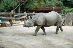 One young rhino walks the zoo.  Stock Photography