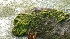 One young river crawfish moves backwards on a stone covered with green waterways into water.