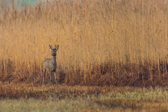 One young roe deer buck standing in meadow Stock Photography