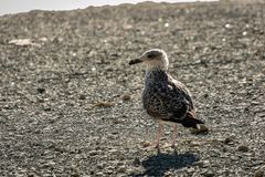 One young seagull Larus marinus stands on a beach of gray sea pebbles. royalty free stock photo