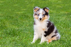 Free One Young Sheltie Dog Sitting On Grass Royalty Free Stock Images - 84730599
