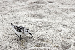 One Young Snowy Plover Bird. In the gray white sand on a beach in North Carolina. One small Charadrius Nivosus or Snowy Plover bird in the sand closeup in stock photography