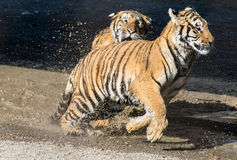 One young tiger runs after the other - playing in the water Stock Image